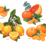 Watercolor illustrations of various citrus fruits including orange, lemon, grapefruit, tangerine and mandarin used on packaging for St. Ive's. Meijer and N'Ice cough drops.