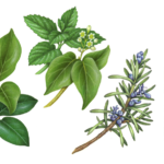 Herbs including rosemary, camphor, mint, and wintergreen