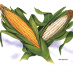 Botanical illustration of yellow and white ears of corn used for HEB Groceries.