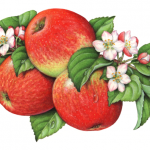 Botanical illustration of Honey Crisp apples on a branch with apple blossoms and leaves.