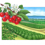 Old-fashioned Grand Traverse cherry orchard scene illustration with Montmorency cherry branch.