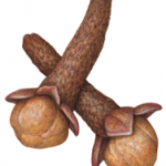 Watercolor illustration of two brown cloves.
