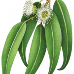 Eucalyptus Globulus branch with flowers and leaves