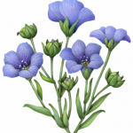 Flax plant with blue flowers and buds
