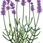 Lavender branch with eight lavender flowers