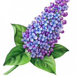 Blue and purple lilac with leaves