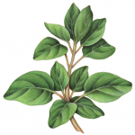 Oregano branch