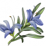 Closeup view of a rosemary sprig with two blue flowers