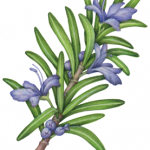 Rosemary branch with flowers and leaves