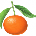 Botanical illustration of a tangerine.