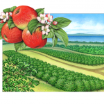 Honey Crisp apple orchard scene