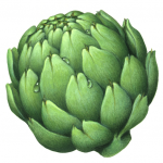 Fresh artichoke head