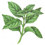 Basil plant with 10 leaves.