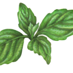 Four leaf sprig of basil