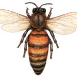 Overhead view of a queen honey bee