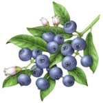 Blueberries on a branch with leaves and three flowers.