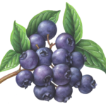 Blueberries on a branch with leaves