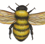 Watercolor illustration of a yellow and black bumble bee
