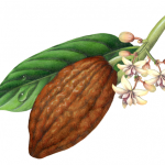 Cacao plant with leaf, flowers and brown fruit pod