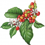 Branch of a coffee plant with leaves, flowers and berries
