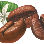 Three coffee beans with a white coffee flower and leaf