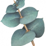 One eucalyptus branch