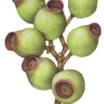 Eucalyptus Globulus gum nuts branch