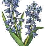 Two stalks of blue hyacinths with leaves