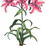 Three pink stargazer oriental lilies and two lily buds with leaves and a bulb