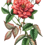 Old fashion open red rose with four rose buds and leaves