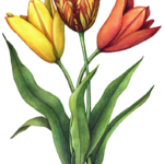 Three assorted tulip flowers with leaves
