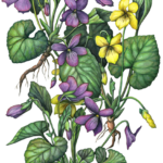 Three purple and yellow violet plants with leaves and roots