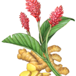 Ginger plant with three red flowers, leaves, root and ginger slices.