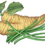 Horseradish root and leaves with a group of chives