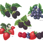 Blackberries, blueberries, strawberries and raspberries