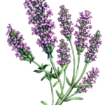 Lavender branch with seven lavender flowers