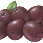 Purple Gaeta olives