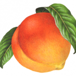 Single peach with leaves