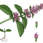 Peppermint branch with leaves and flowers