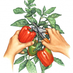 How to pick the perfect red pepper from a pepper plant