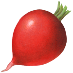 Single whole red radish