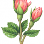 Old-fashioned Victorian style botanical illustration of two pink rose buds