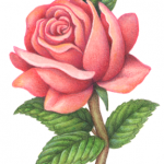 Old-fashioned Victorian style flower painting of a single pink rose