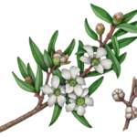 Lemon Scented Tea Tree (Citratum) branch with flowers, buds and leaves