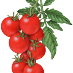 Cherry tomato plant with eight cherry tomatoes and leaves