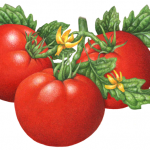 Three tomatoes on the vine with tomato flowers and leaves