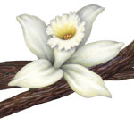 Vanilla flower with three vanilla beans