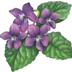 Four purple violet flowers with three leaves