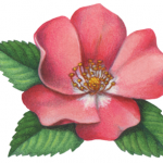 Wild pink rose with leaves