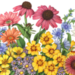 Wildflowers including echinacea, cone flower, daisy, chicory, aster, black-eyed Susan and evening primrose.